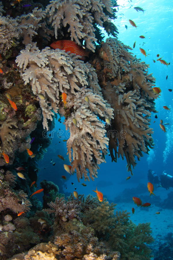 Grouper σπίτι - Ερυθρά Θάλασσα στοκ εικόνα με δικαίωμα ελεύθερης χρήσης
