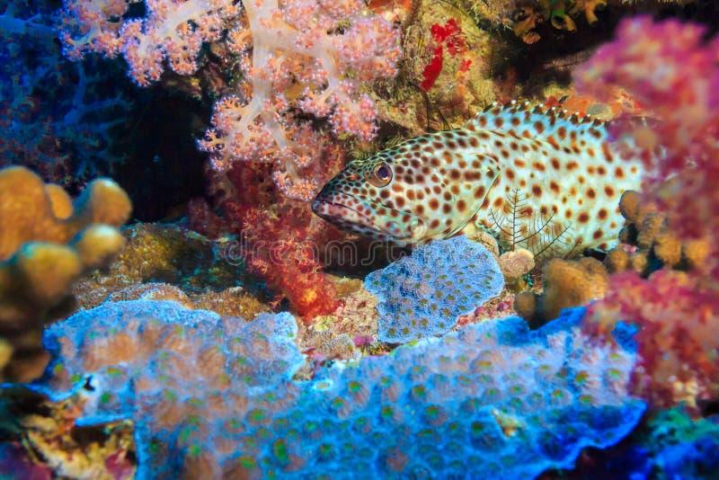 Grouper στην ενέδρα στοκ εικόνες