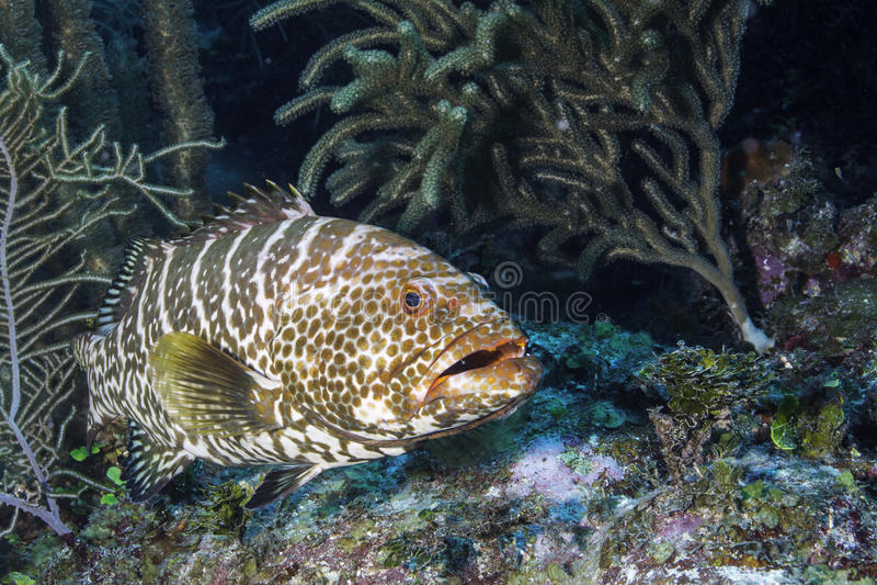 Grouper τιγρών στοκ φωτογραφίες με δικαίωμα ελεύθερης χρήσης