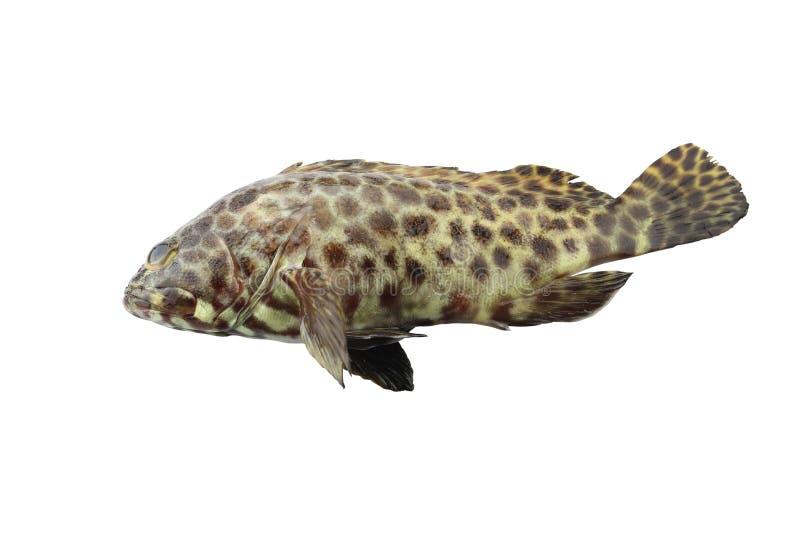 Grouper ψάρια που απομονώνονται στο άσπρο υπόβαθρο στοκ φωτογραφίες