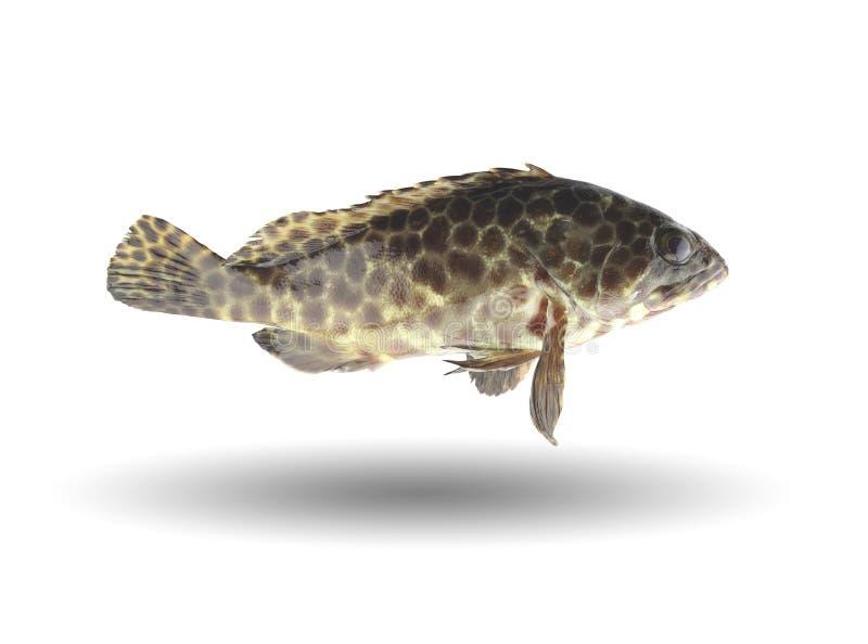 Grouper ψάρια που απομονώνονται στο άσπρο υπόβαθρο στοκ φωτογραφίες με δικαίωμα ελεύθερης χρήσης