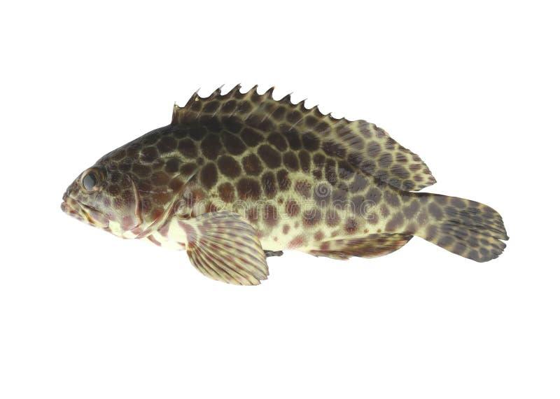 Grouper ψάρια που απομονώνονται στο άσπρο υπόβαθρο στοκ εικόνες με δικαίωμα ελεύθερης χρήσης