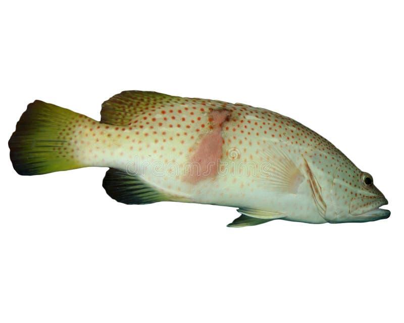Grouper ψάρια στοκ φωτογραφία