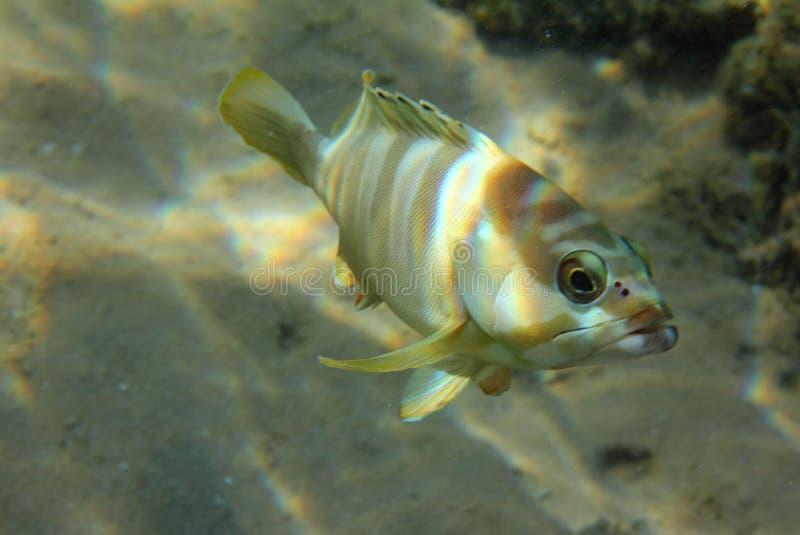 grouper ψαριών κάτω από το ύδωρ στοκ εικόνες με δικαίωμα ελεύθερης χρήσης