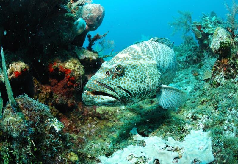 grouper ψαριών κοραλλιών σκόπελ& στοκ εικόνα