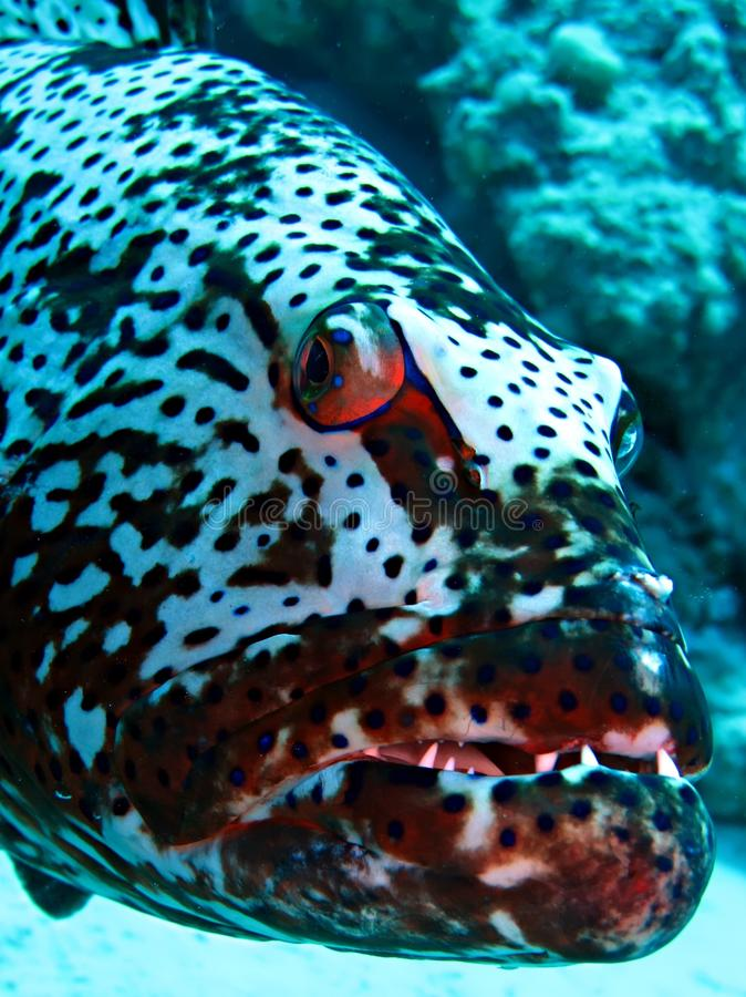 Grouper. Red Sea Coral Grouper. Taken at Marsa Bareika in Egypt stock photo