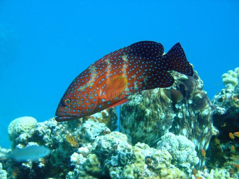 Grouper stock image