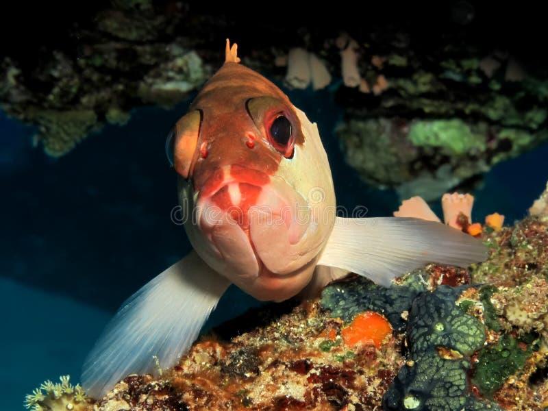 grouper стоковое изображение