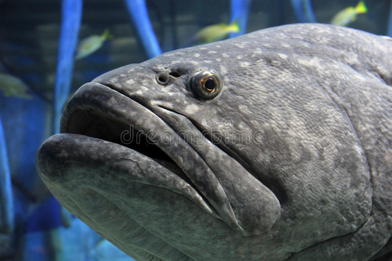 Grouper stock photos