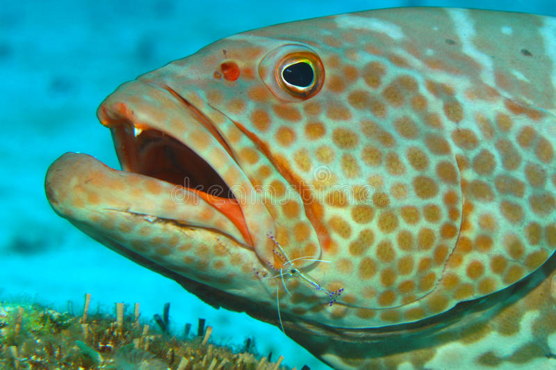 grouper στοκ φωτογραφίες