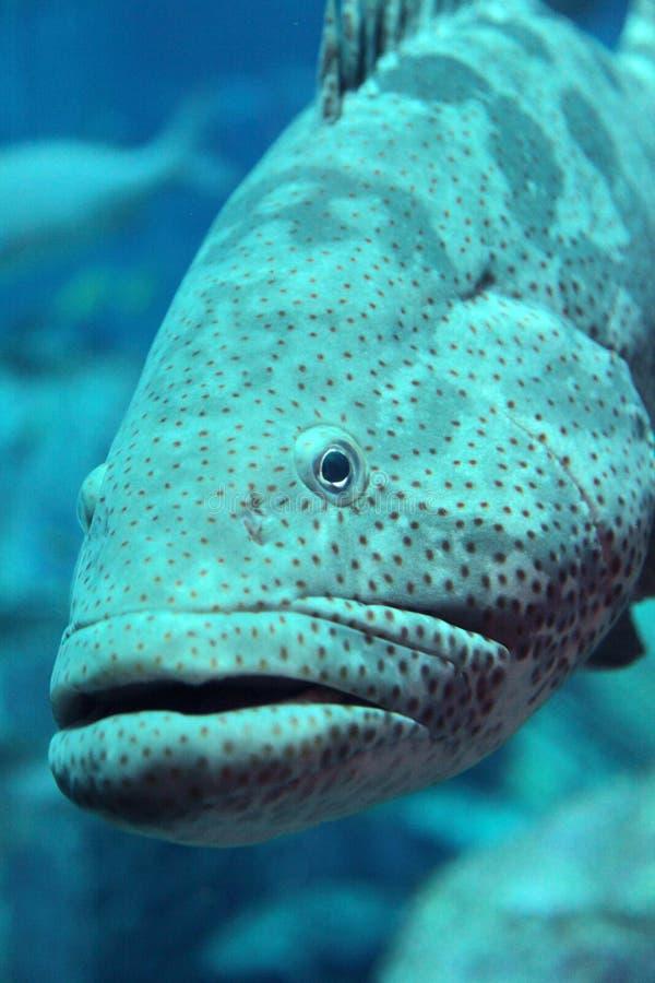 grouper стоковые фотографии rf