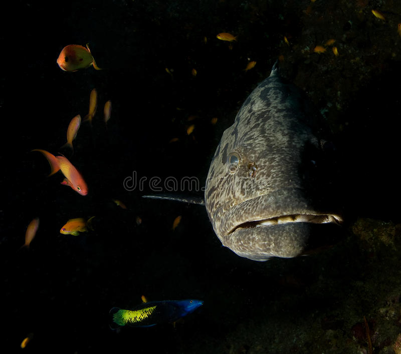 Grouper. Big grouper and small fish royalty free stock image