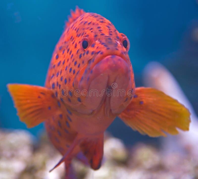 grouper 2 κοραλλιών στοκ εικόνα με δικαίωμα ελεύθερης χρήσης