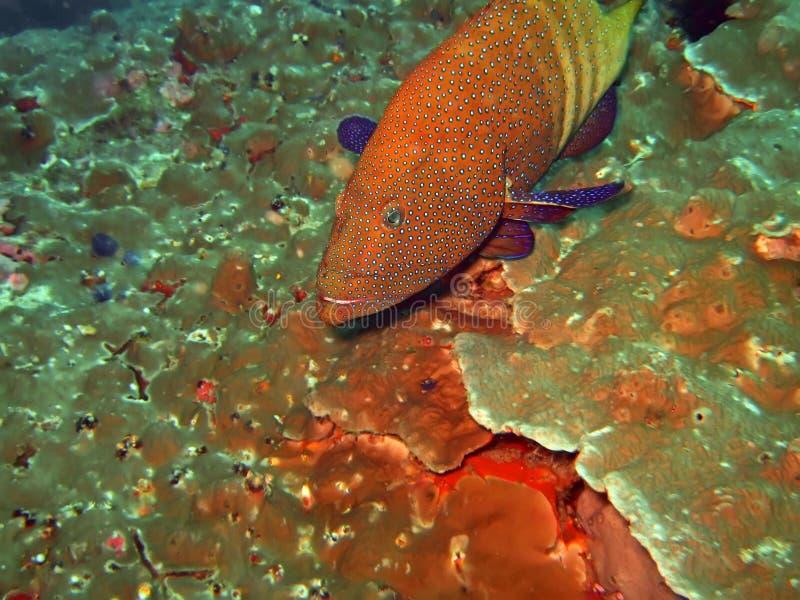 grouper стоковая фотография
