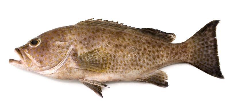 Download Grouper stock photo. Image of fishpaste, fishing, seawater - 5183816