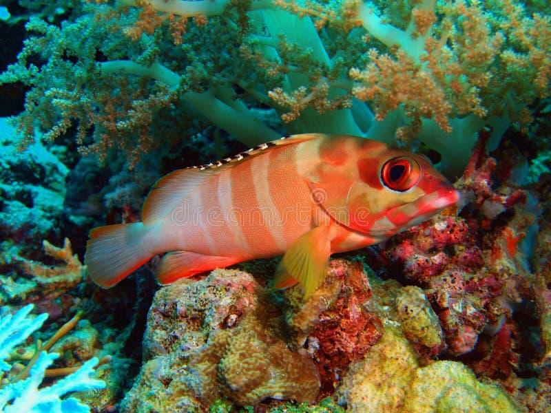 grouper στοκ εικόνες με δικαίωμα ελεύθερης χρήσης
