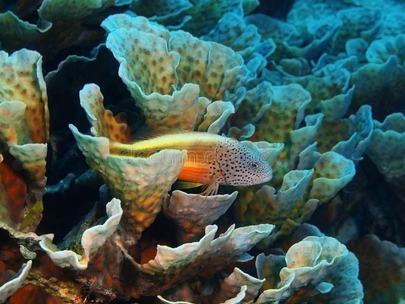 Grouper. The amazing and mysterious underwater world of Indonesia, North Sulawesi, Bunaken Island, grouper stock images