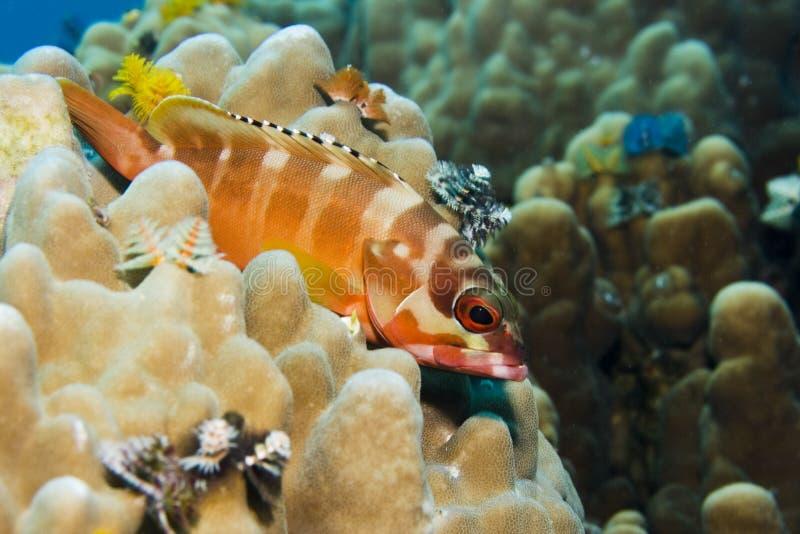 grouper blacktip стоковое изображение rf
