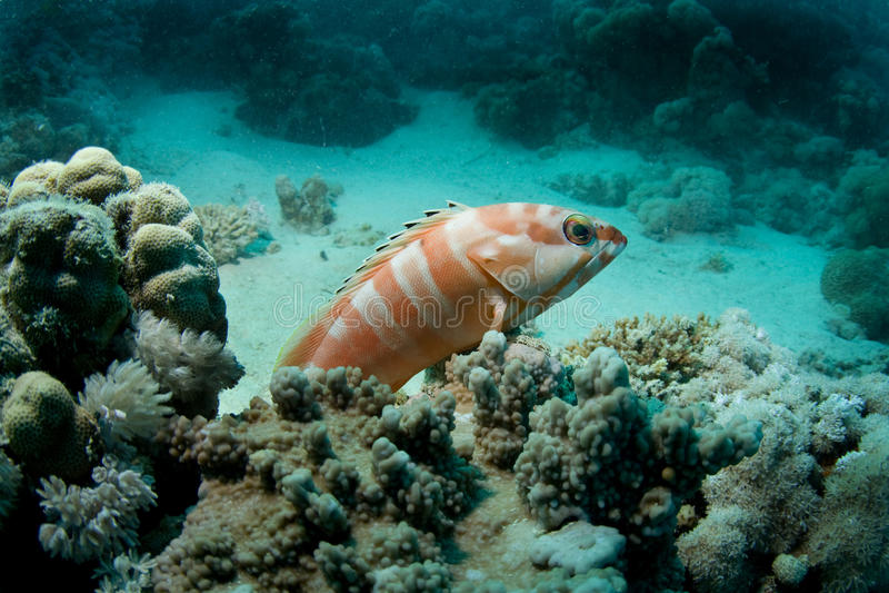 grouper blacktip стоковые изображения