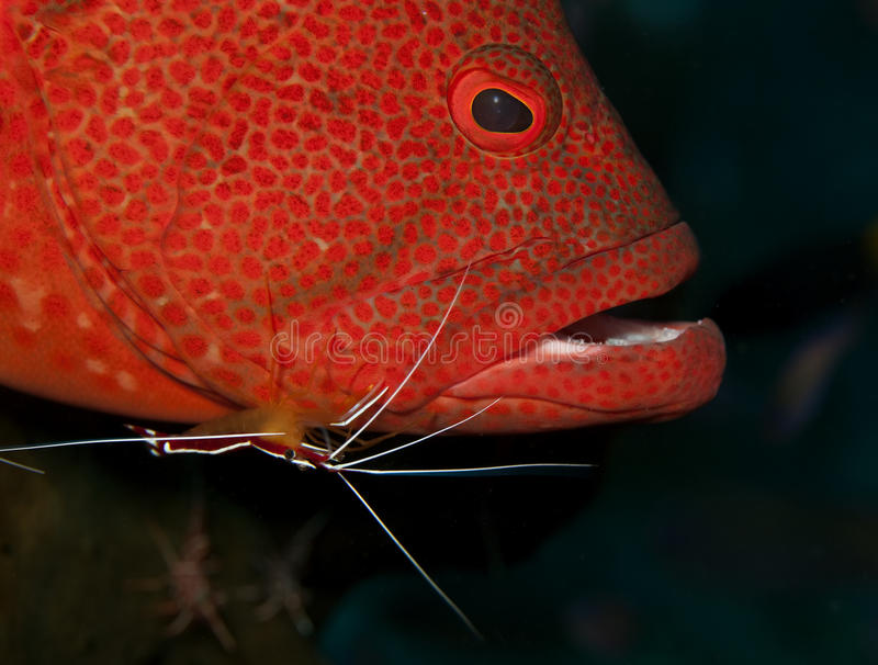 Grouper at cleaning station. Cleaning station with shrimp cleaning grouper stock image