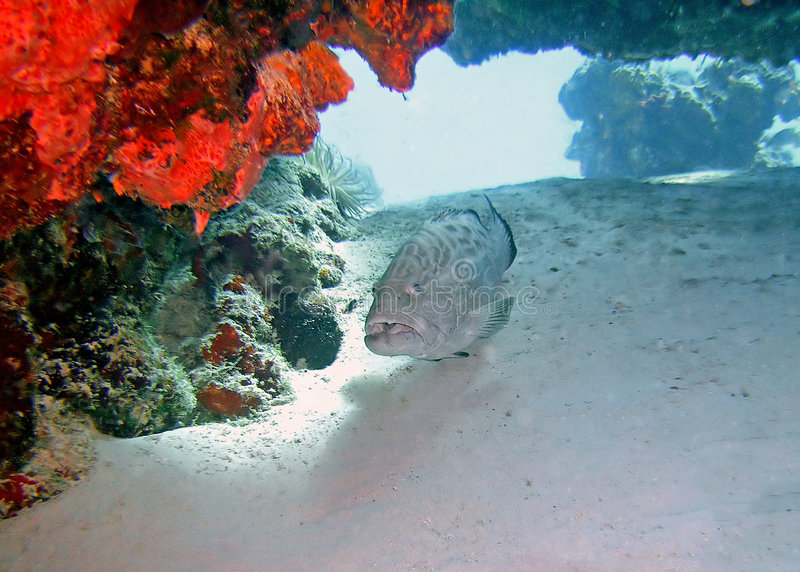 Grouper fish and coral royalty free stock image