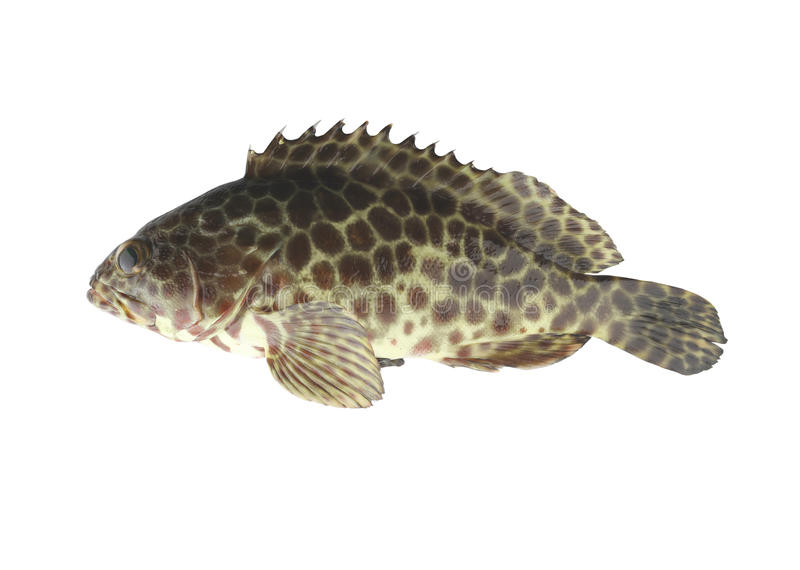 Grouper fish isolated on white background. Grouper fish isolated on white background with clipping paths royalty free stock images