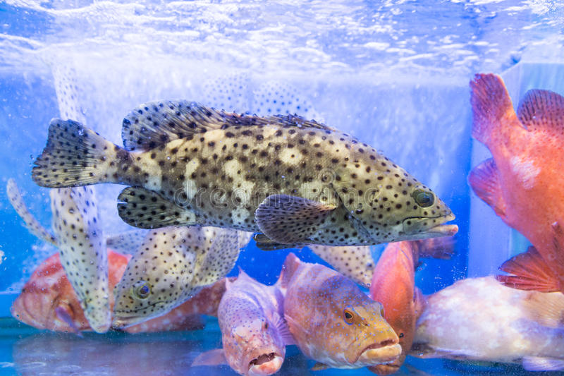 Grouper fish in restaurant aquarium tank for sale. To diners stock image