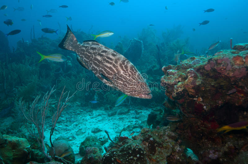Grouper fish swimming stock images