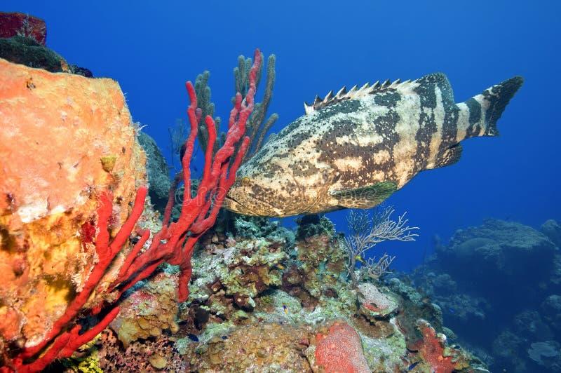 grouper goliath стоковое изображение