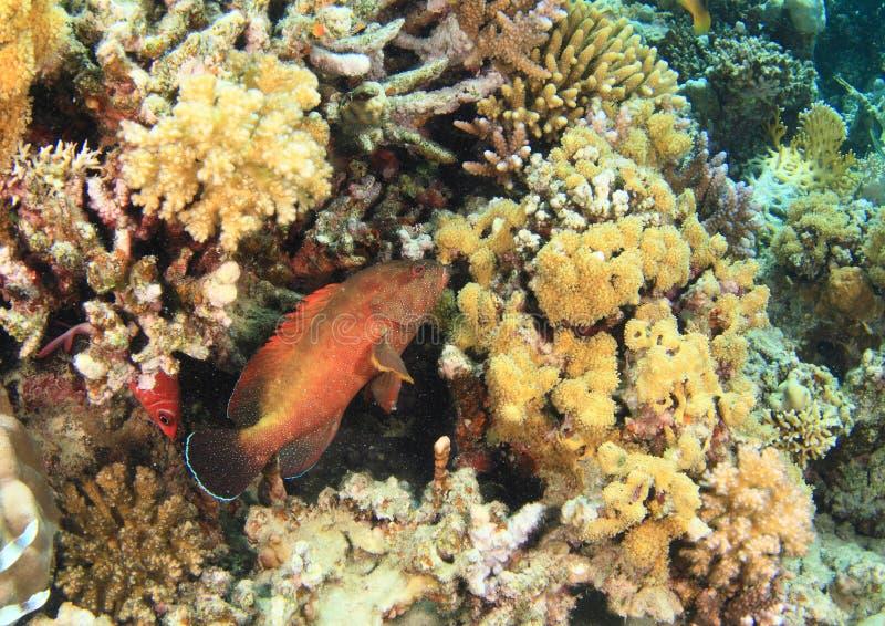 Grouper Halfspotted ψαριών στοκ φωτογραφίες με δικαίωμα ελεύθερης χρήσης