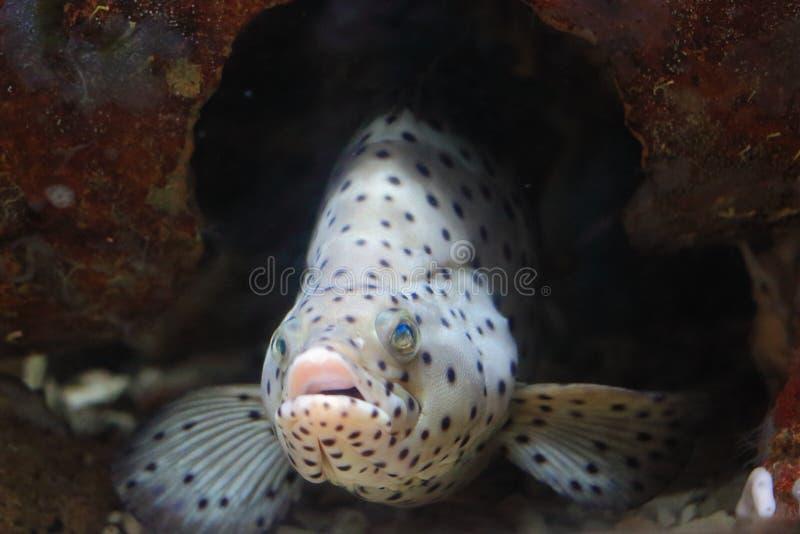 Grouper Humpback, βακαλάος Barramundi, grouper πάνθηρων στοκ εικόνα