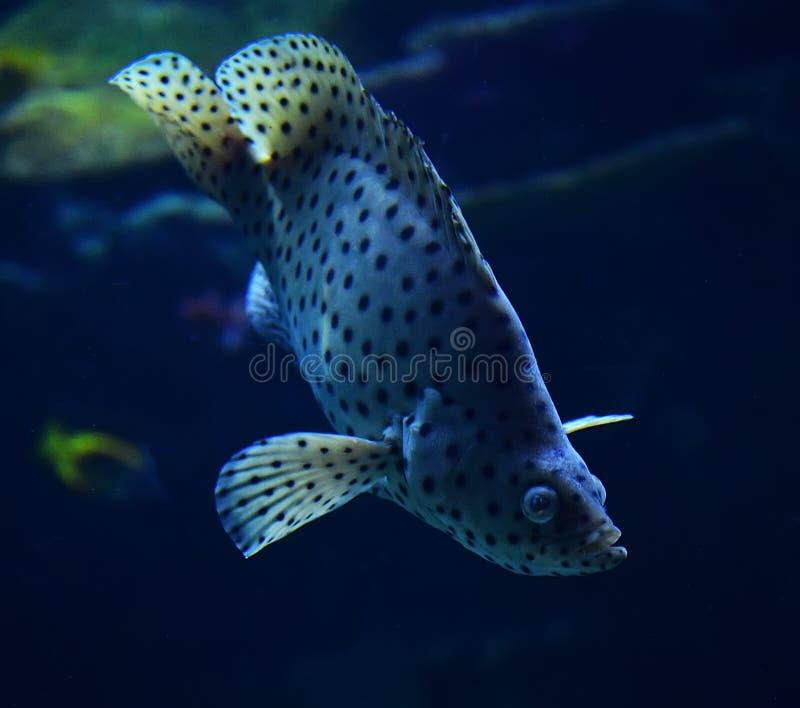 Grouper Humpback στοκ εικόνα