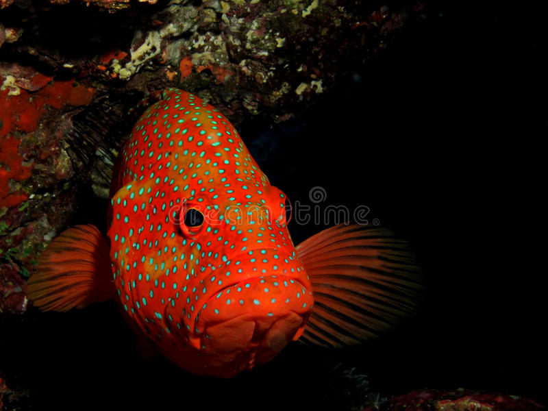grouper koralowa łania fotografia royalty free