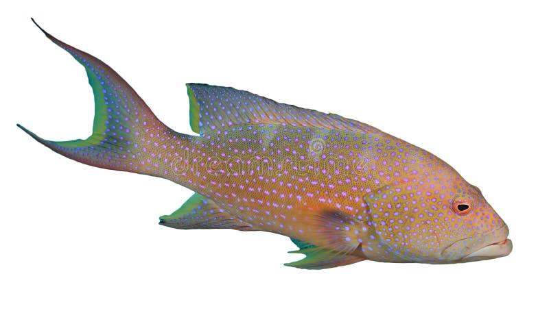 Grouper Lyretail стоковое изображение rf
