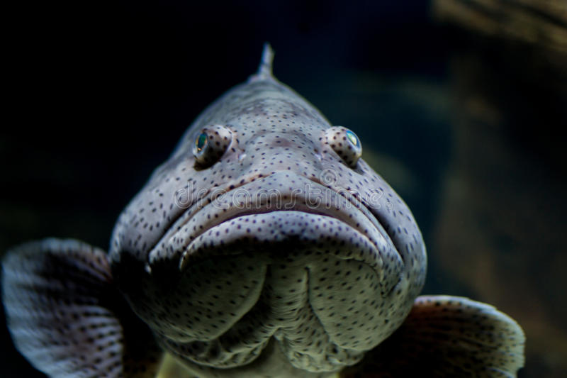 Grouper Malabar ψάρια, στόμα κλειστό στοκ φωτογραφία