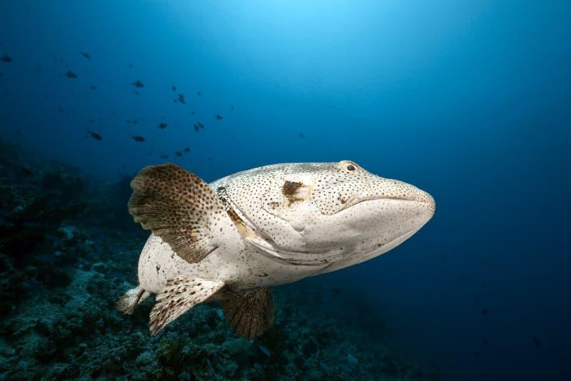 grouper malabar ωκεανός στοκ εικόνες με δικαίωμα ελεύθερης χρήσης