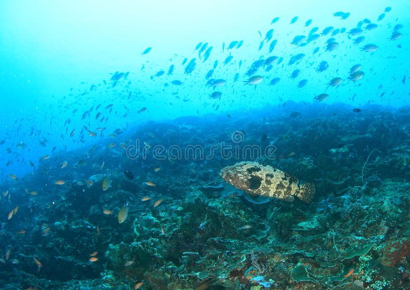 Grouper Malabar στοκ εικόνα με δικαίωμα ελεύθερης χρήσης