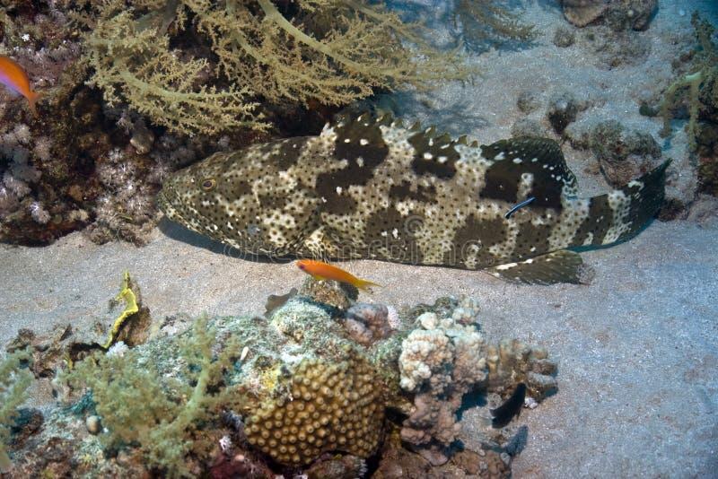 grouper malabar στοκ εικόνες
