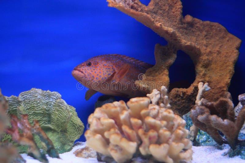 Grouper Miniatus στοκ φωτογραφία με δικαίωμα ελεύθερης χρήσης