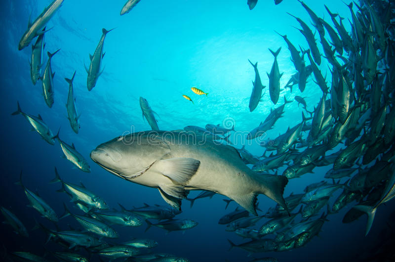 Grouper, morze cortez. obrazy stock