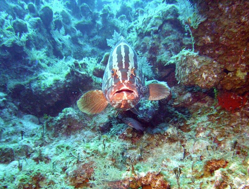grouper nassau стоковые изображения