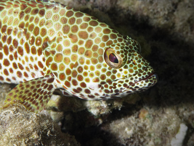Grouper portrait royalty free stock images