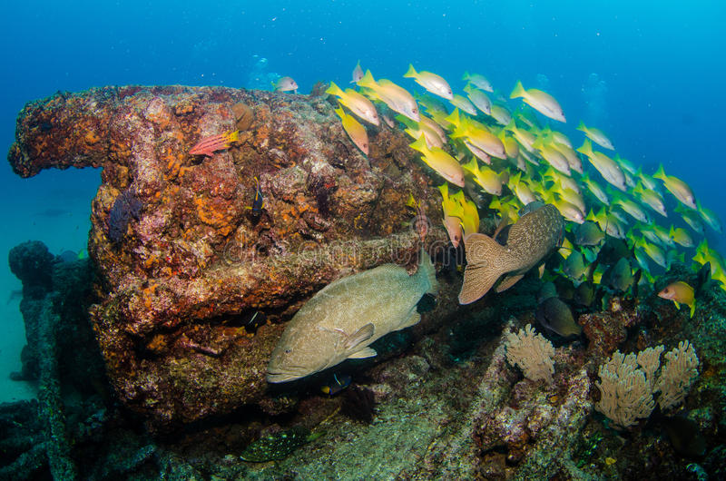 Grouper, Sea of cortez. stock images