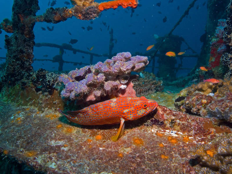Grouper on a shipwreck royalty free stock photos