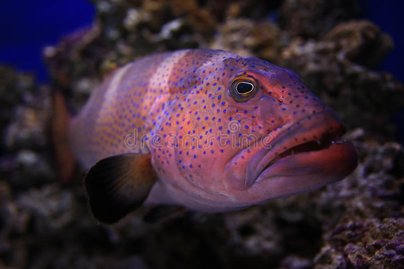 Grouper underwater photo. In sea royalty free stock photo