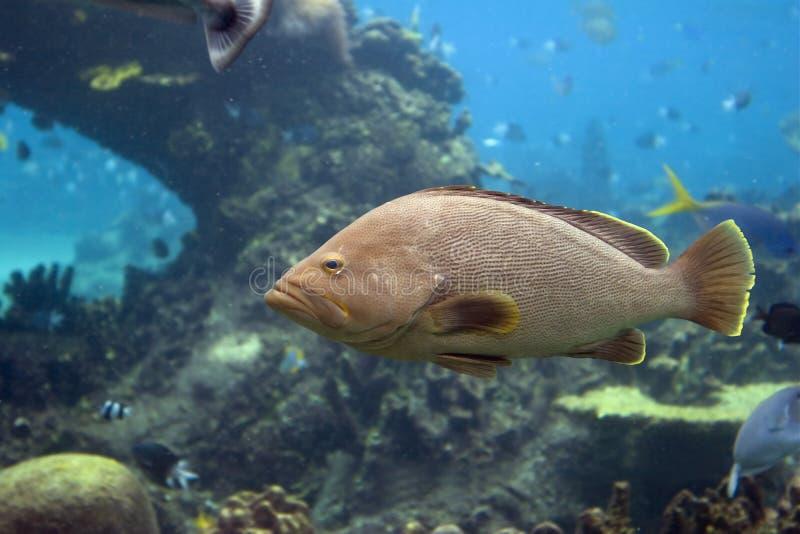 grouperfish 库存图片