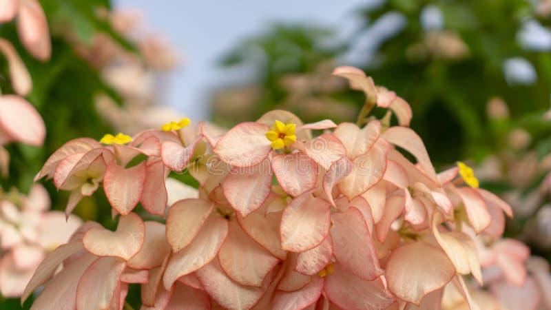 Groupes d'usine rose de fleur de dame de p?tales sur l'arbuste vert brouill? de feuilles photos libres de droits