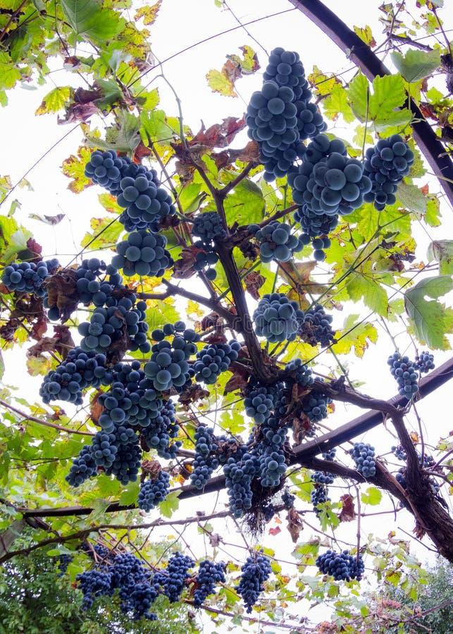 Groupes de grands et juteux raisins mûrs de vin rouge sur la vigne photos stock