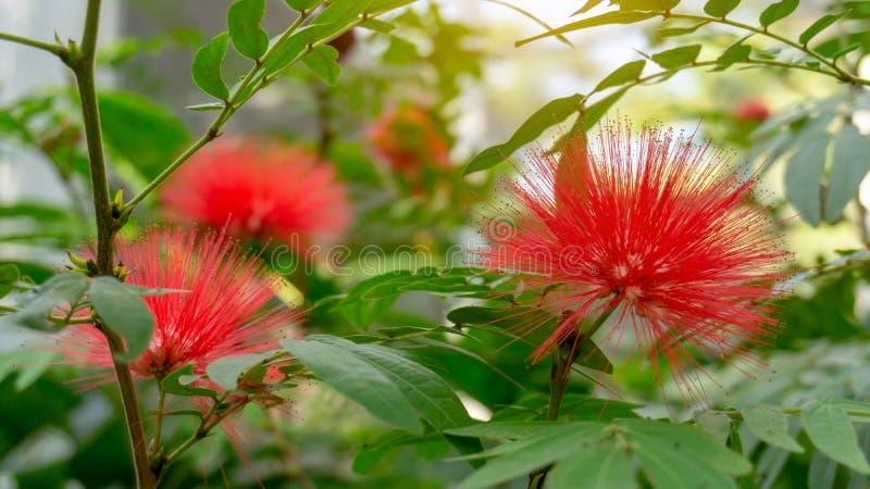 Groupes de p?tales pelucheux d'usine de floraison rouge-rose de souffle de poudre, connus sous le nom de souffle de poudre princi photo stock