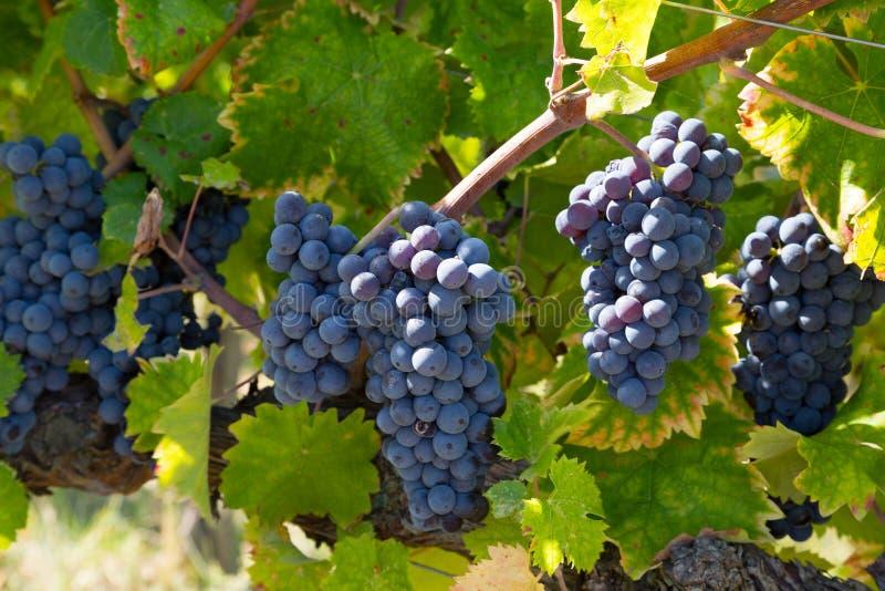 Groupes de raisins bleus mûrs photographie stock